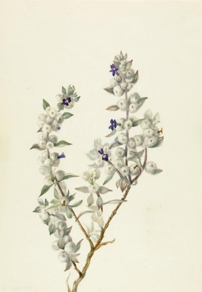 Death Valley Sage (Salvia funerea).jpg