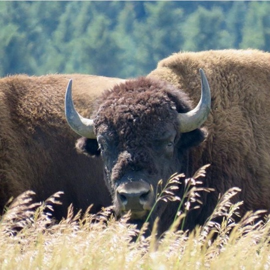 Great north american bison.jpg