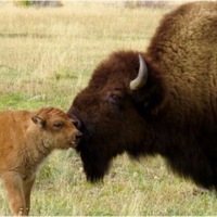 Mama and baby bison.jpg