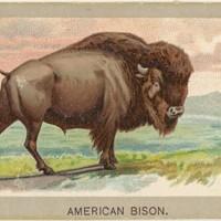 american bison.jpg