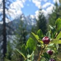 huckleberries.jpg