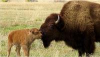Mama and baby bison.jpg